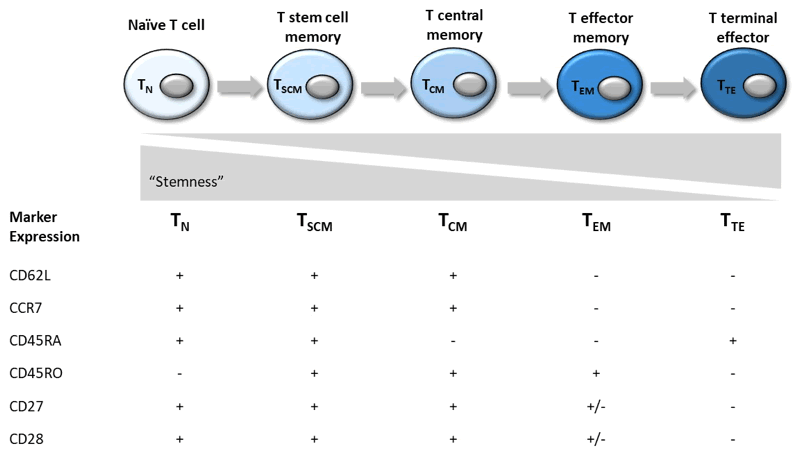 The different CD8+ subsets and their marker expression profiles.
